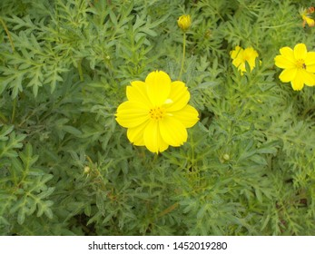 Beautiful natural yellow flower in malampuzha dam kerala