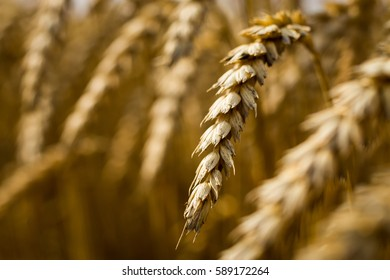 Beautiful nature background of ripening ears of meadow golden wheat field as harvest concept