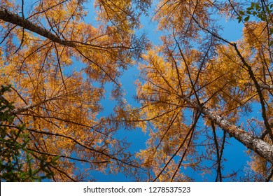 Beautiful Nature Background and Wallpaper of Look up Colorful Vibrant Autumn Yellow Pine Tree under Clear Blue Sky in Kamikochi Nagano, Switzerland of Japan. Tourist Destination in Japan