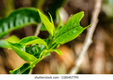 beautiful in nature, closeup image of green tea bud and leaves at Cameron Highland, Malaysia