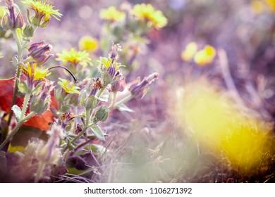 Beautiful nature - flowering, blooming yellow flowers in meadow in summertime