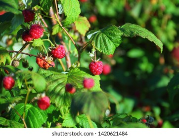 Beautiful nature image, close up of tree branch with sunlit ripe raspberry (Rubus idaeus, red or European raspberry) and green leaves against the background of it thicket. photo with tilt-shift effect