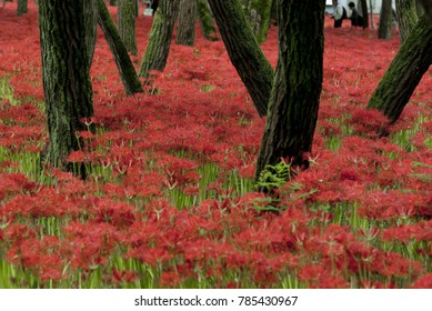 Beautiful nature of Japan. Spider lilies blossom in Saitama prefecture.