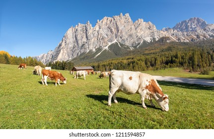 Beautiful nature landscape with cows on a green meadow with beautiful mountains in the background