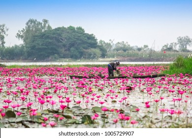 Beautiful nature Landscape Landmark poppular unseen Thailand,Red Lotus sea(Lake) in the morning with fog blurred blue sky background,lotus, red lotus, Udon Thani.Landscape HDR Style Selection focus.