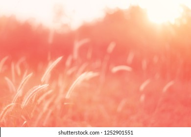 beautiful nature of light soft Living Coral orange color, The rising sun with grass flowers make pastel orange color filter.