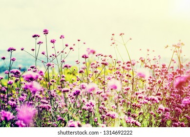 Beautiful nature purple flower field of Verbena Bonariensis or Purpletop Vervain under the bright sky and sunlight in the evening for background vintage style in Thailand