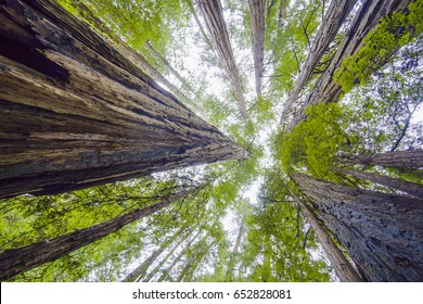 Beautiful nature - the Redwood Forest - red cedar trees