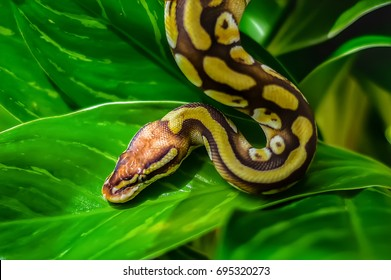 Beautiful nature scene ball python snake (Python Regius) on green leaf.Showing of eyes and face detail.Snake in the nature habitat using as a background or wallpaper.The concept for writing an article