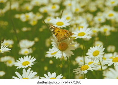 Beautiful nature scene, butterfly on camomile flower, Instagram look