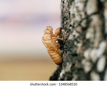 Beautiful nature scene macro cicada molting. Showing of eyes and wing detail.Cicada in the wildlife nature habitat using as background or wallpaper.Cicada insect stick on tree. Cicada skin