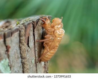 Beautiful nature scene macro cicada molting insect stick on tree. Cicada slough soft of focus