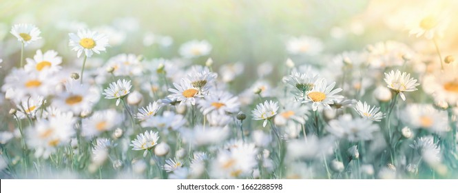 Beautiful nature, selective and soft focus on daisy flower in meadow, daisy flowers lit by sunlight