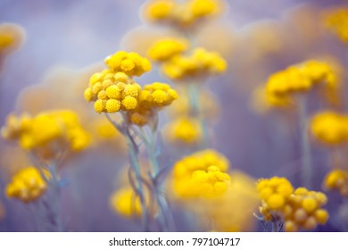 beautiful nature spring flowers. Yellow plants in field. Photo with romantic atmosphere and soft blue and pink colours