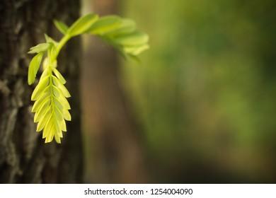 beautiful nature style of life, closeup fresh Tamarind leaves