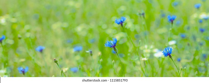 Beautiful Nature Summer panoramic Background with selective focus. Blue Cornflowers growing the flowers meadow. Flowers field. Wide Angle Wallpaper or Web Banner