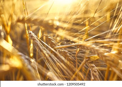 Beautiful Nature Sunset Landscape. Ripe ears of wheat during sunset. The concept of a rich harvest