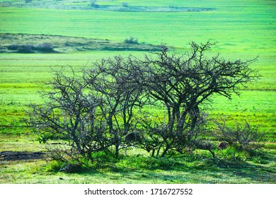 Beautiful nature view, dry prickly thorn bush against the background of bright green field covered with dew in the light of the morning sun. Fes (fez) region, Morocco, North West Africa.