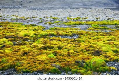 Beautiful nature view - tundra moss at the end of short polar summer near Barentsburg, Spitsbergen island, Svalbard archipelago, Norway, Northern Europe.