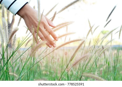 Beautiful nature . Young woman's hand holding  Blooming white grass lit sunlight