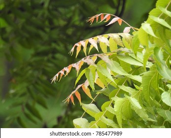 Beautiful Neem Early Leafs, light red and green mix, This tree scientifically known as azadirachta indica