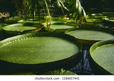 Beautiful nelumbo or lotos with showy flowers.