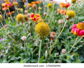 beautiful nepali yellow red mixed color flowers in the garden