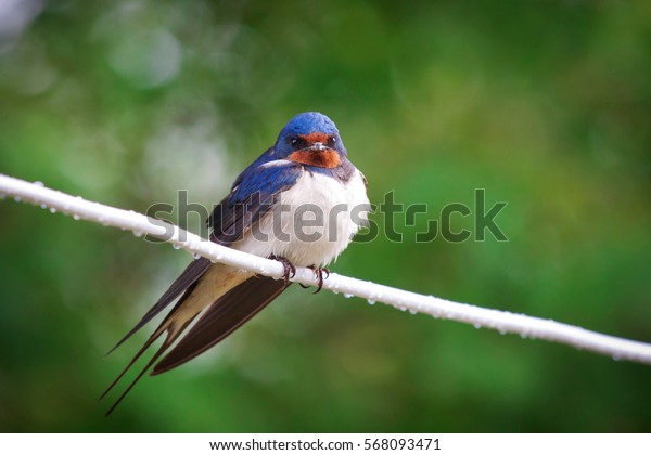 Beautiful nestling barn swallows (Hirundo rustica) sitting on the cable after the rain. Similary
