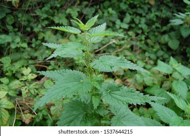 Beautiful nettle plant in the forest