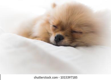 Beautiful new born pomerian spitz, sleep sweetly. Close-up. Blur background