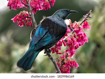 A beautiful New Zealand tui bird on a flowering cherry with a natural background.