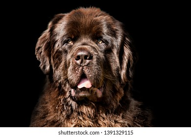 A beautiful Newfoundland Dog against a black background looking forward, to the viewer.