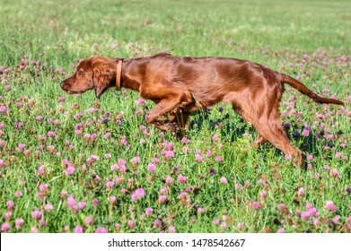 Beautiful nineteen-week-old Irish Setter puppy during dead set training in the flowering clover-strewn summer meadow.