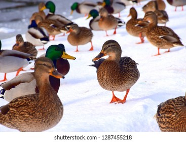 A beautiful noble duck or drake walking on ice and snow near a frozen lake while being surrounded by many other animals, such as ducks, drakes, crows, and pigeons in a public park in Poland in winter