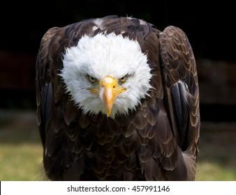 Beautiful north american bald eagle.