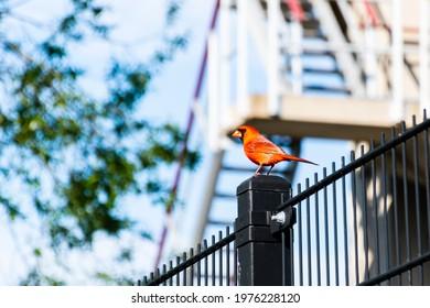 Beautiful Northern Cardinal (Cardinalis cardinalis) perched on a black gate