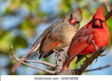 Beautiful Northern Cardinal Pair in Chinese Fringe Tree in Louisiana Winter