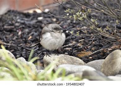 A beautiful Northern Mockingbird fledgling