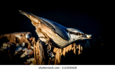 The beautiful Nuthatch (Sitta europaea) with a peanut in the beak with a dark defocused background.
