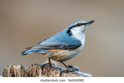 A beautiful Nuthatch (Sitta europaea) perching on a stump with a beige bokeh.