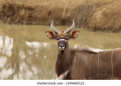 A beautiful Nyala
