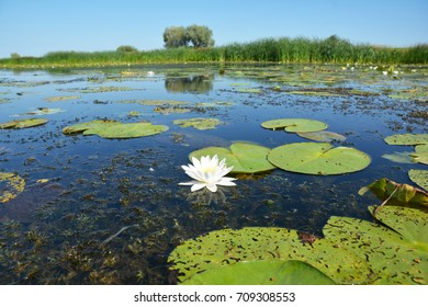 Beautiful Nymphaea alba, also known as the European white water lily, white water rose or white nenuphar