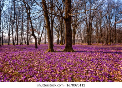 Beautiful oak forest with a carpet of wild purple crocus or saffron flowers and blue sky with clouds, amazing landscape, early spring in Europe
