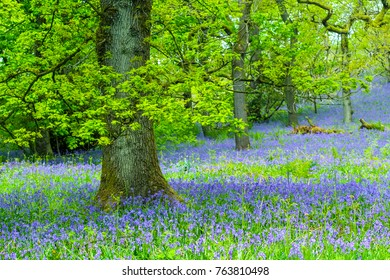 Beautiful oak tree in the forest with bluebells meadow