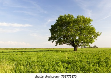 beautiful oak tree with green foliage on a background of blue sky and green grass under the crown, summer landscape. in the background road