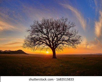 Beautiful oak tree  in rural landscape during summer sunset, Dobrogea, Romania