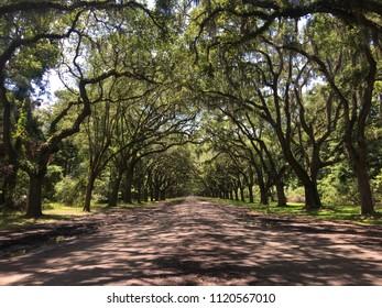 Beautiful oak trees in Savannah, Georgia.