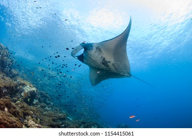 A beautiful Oceanic Manta Ray swimming in the ocean next to a tropical coral reef in the Mergui Archipelago