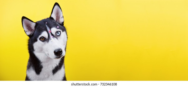beautiful odd-eyed dog of Siberian husky breed on yellow background, curious expression of muzzle, long format banner