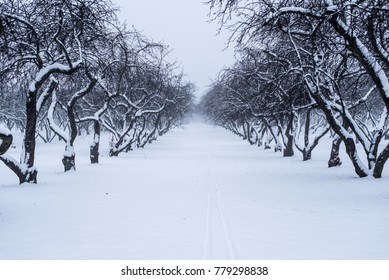 Beautiful old apple orchard in winter